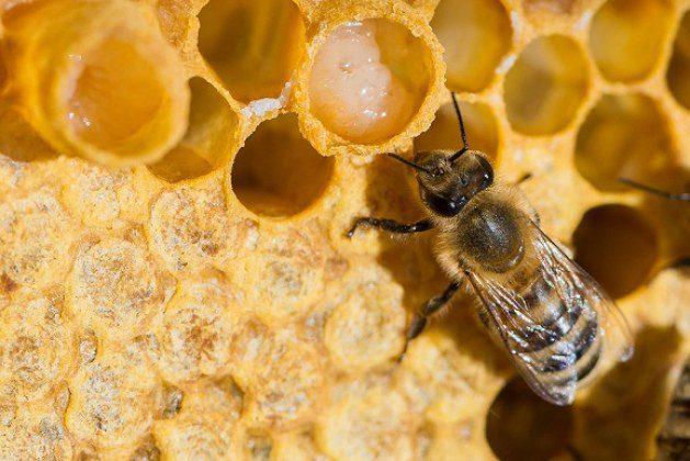تجربتي مع غذاء ملكات النحل للحمل