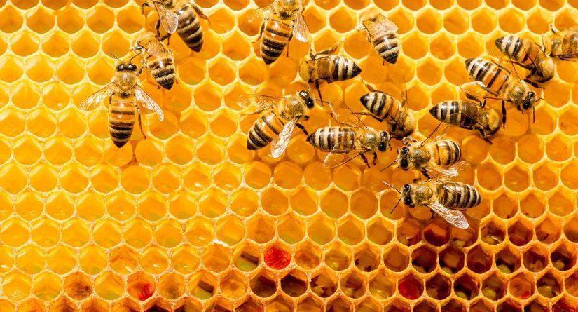 جديد تعرف علي طريقة استخدام غذاء ملكات النحل للحمل وسم فهد القنون Falqunon